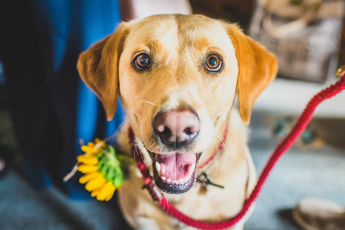 Bride and Groom's dog looking directly to camera with a grin