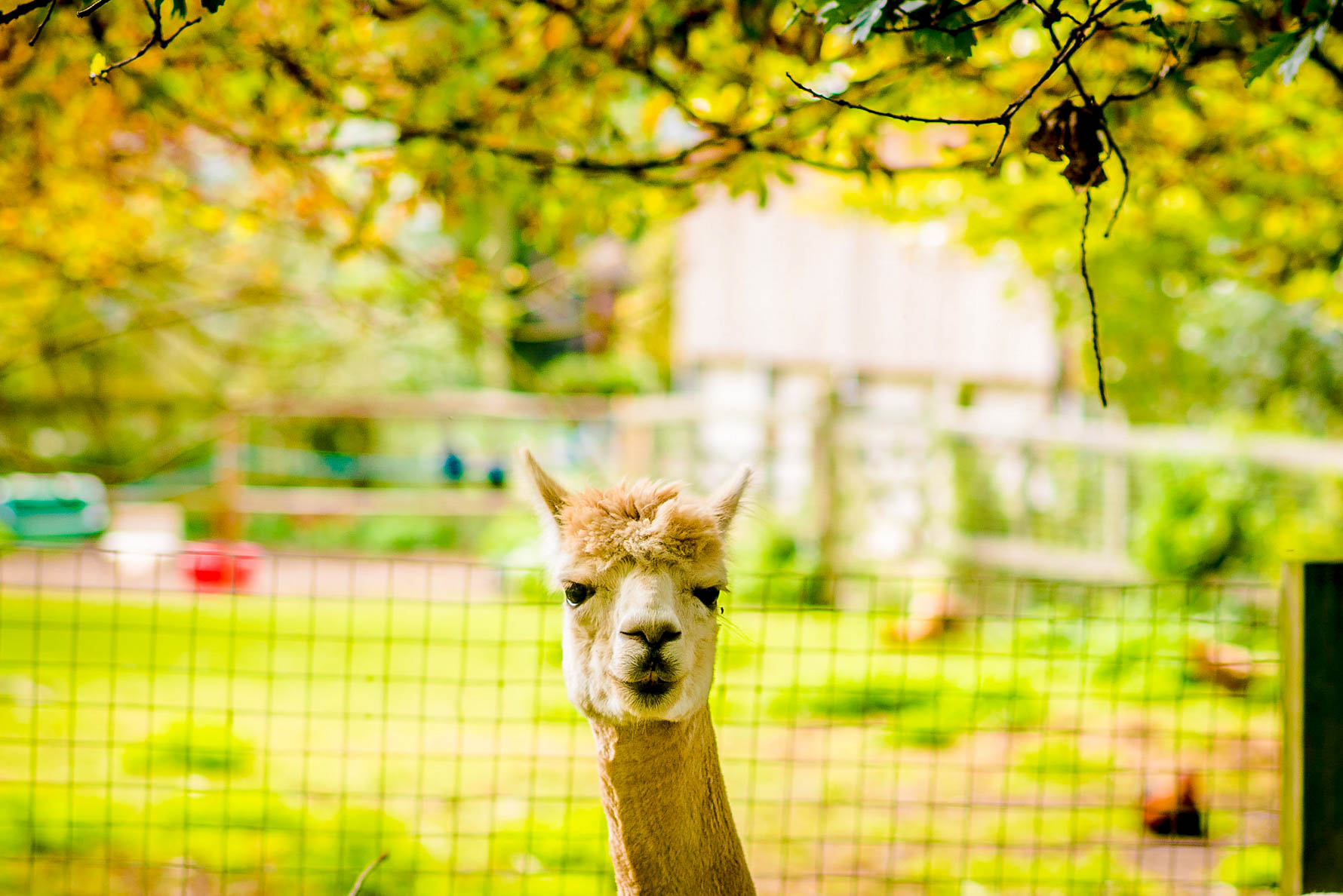 One of the Alpacas at Horsley Hale Farm in Cambridgeshire